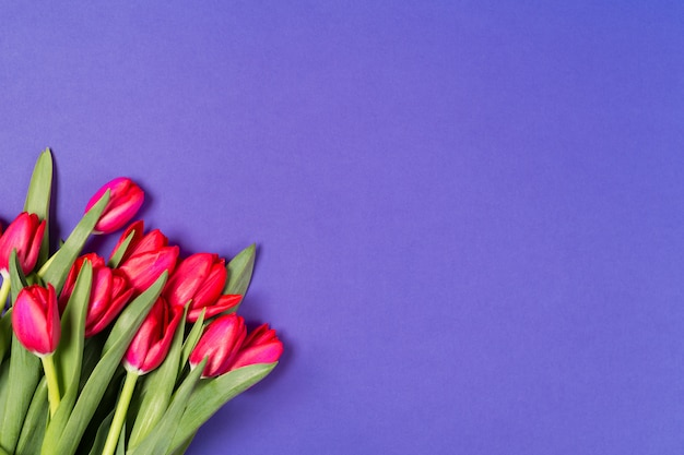Beautiful red tulips on blue background.