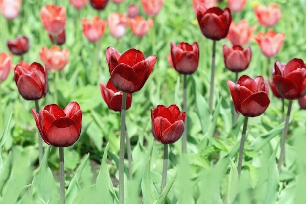背景をぼかした写真に美しい赤いチューリップをクローズアップ。自然の鮮やかな赤い花セレクティブフォーカス。