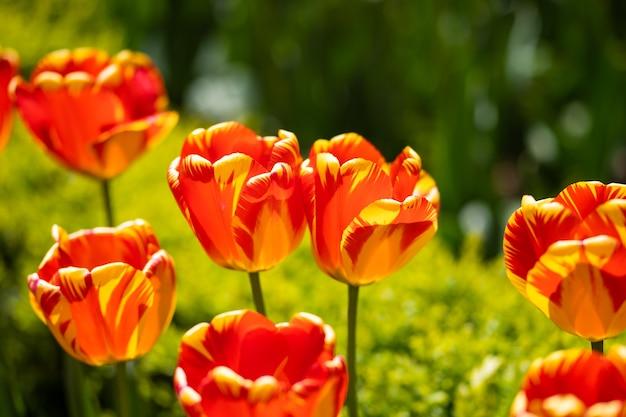 美しい赤いチューリップ、花壇のダーウィンハイブリッド赤いチューリップ。