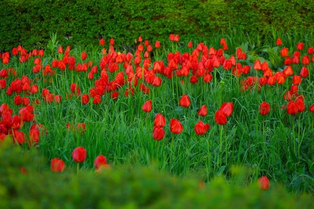 아름 다운 빨간 튤립 필드 배경