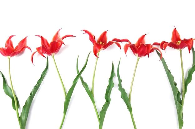 白地に美しい赤いチューリップ