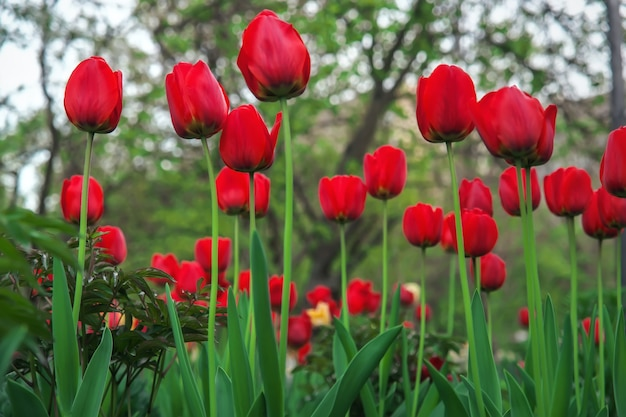 Beautiful red tulips in spring time on the street, background with flowers
