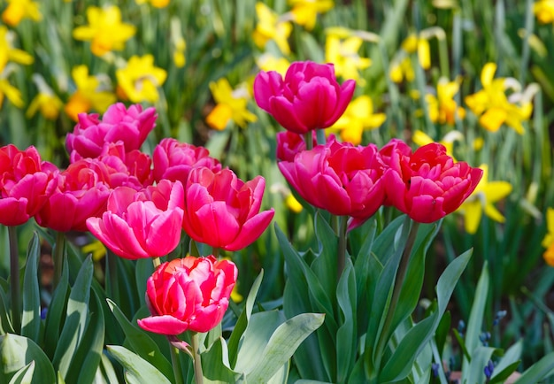 Beautiful red tulips and yellow narcissus nature spring background.