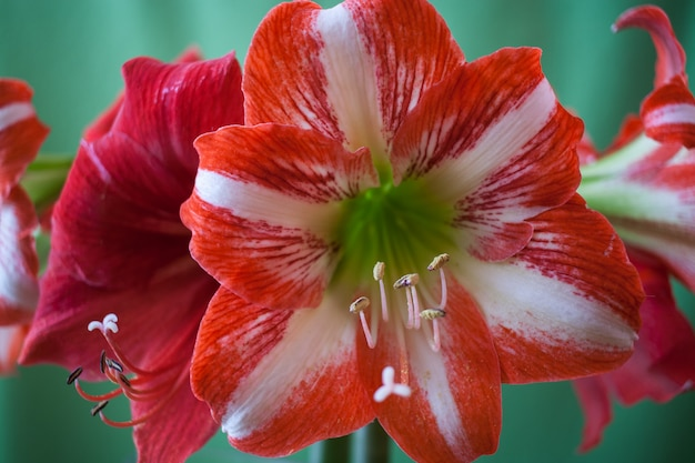 Beautiful red and white amaryllis flowers