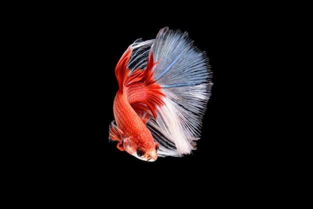 Beautiful red and white betta splendens, siamese fighting fish or plakat in thai popular fish in aquarium is ornamental wet pet.