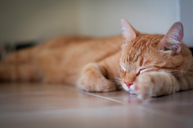 Beautiful red and white striped cat with pink nose sleeping on wooden ground and blurry background