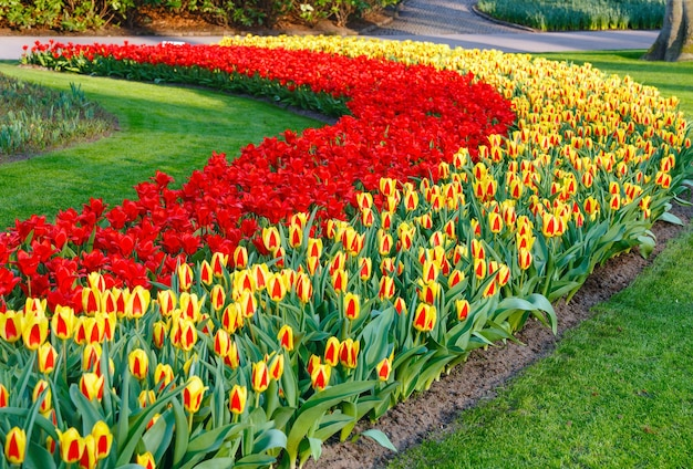 Beautiful red and yellow tulips  in the spring time.