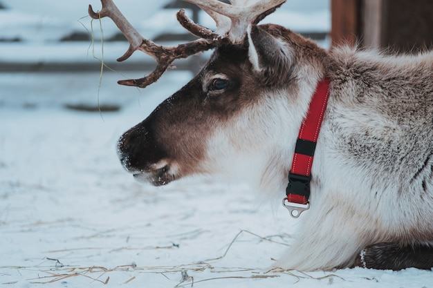 Beautiful reindeer in the ethnic park nomad