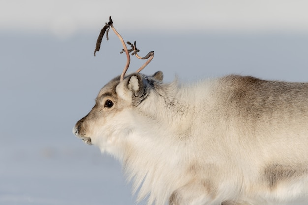 Beautiful reindeer on white snow scene