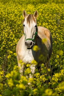 Beautiful relaxed scene of a white horse on a landscape field of yellow flowers.