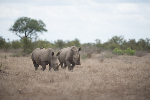 Beautiful rhinoceros walking on the bush field