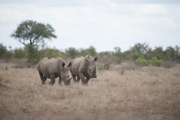 Красивый носорог гуляет по полю кустарников