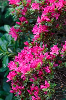 Beautiful rhododendrons of different colors