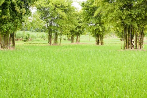 Beautiful rice farm and bamboo.