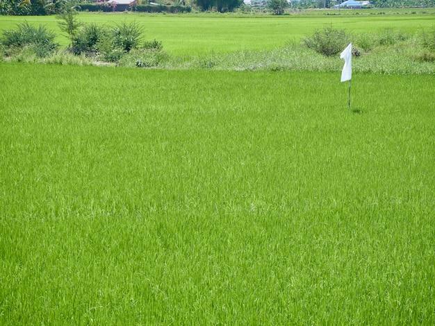Beautiful rice field green grass landscape background