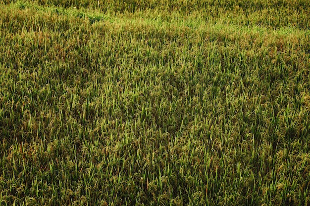 햇빛에 아름 다운 쌀 필드