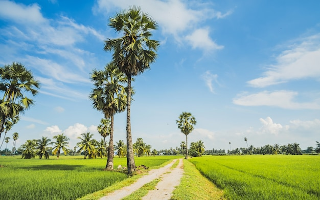 Beautiful rice field when the sky are blue.green field and the way to home have many cocon
