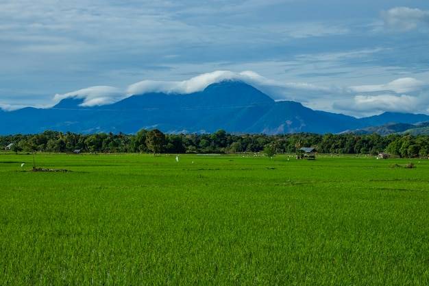 Beautiful rice fields in aceh besar district aceh province