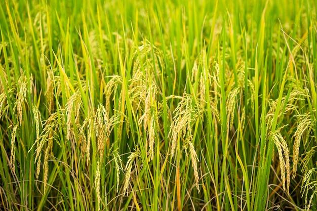 아름 다운 익은 논 필드 배경 치앙마이 태국.