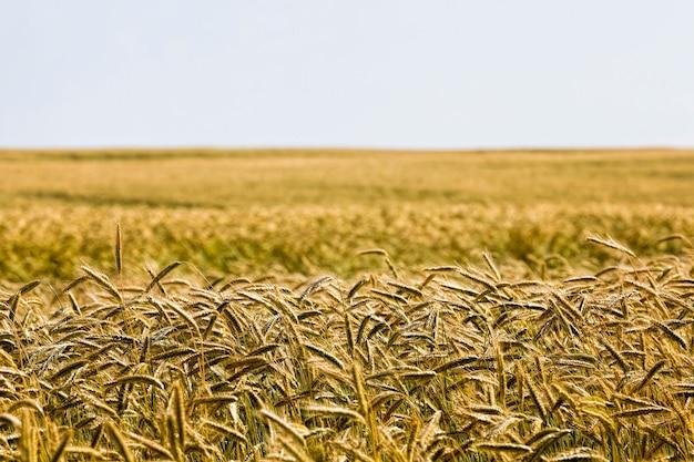 아름 다운 익은 밀밭