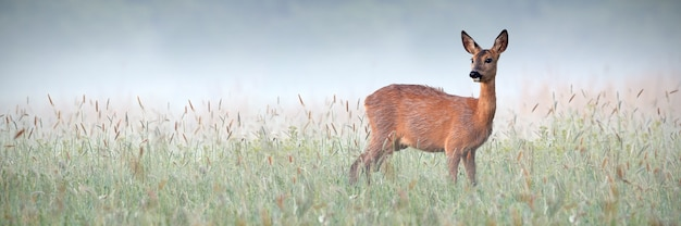 Beautiful roe deer doe observing surroundings of green meadow wet from dew