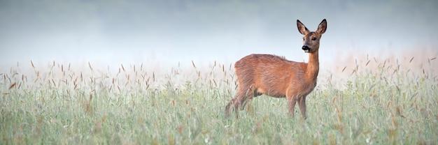 Красивая косуля, наблюдая окрестности зеленого луга, мокрого от росы