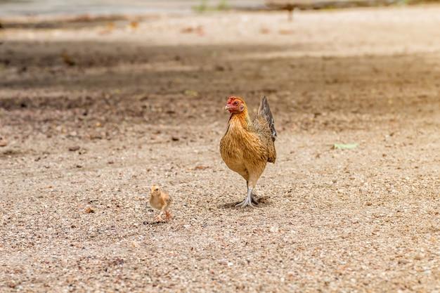 美しい鶏と鶏は自然の背景に