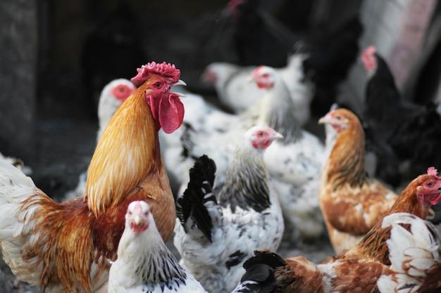 Красивый петух в курятнике. домашняя птица. ферма