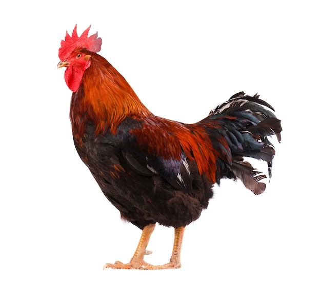 Beautiful rooster isolated on white