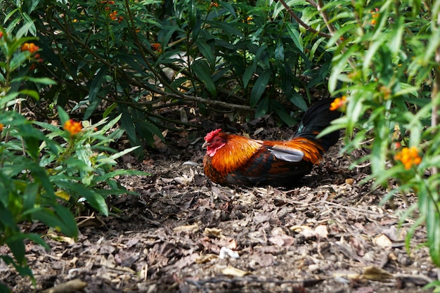 Beautiful rooster resting in garden
