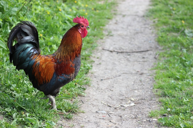 Beautiful rooster standing by the trail