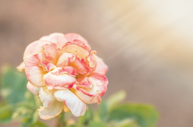 Beautiful rose on blurred background