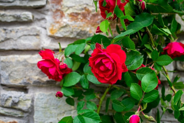 Beautiful rose bush old stone wall background with copy space.