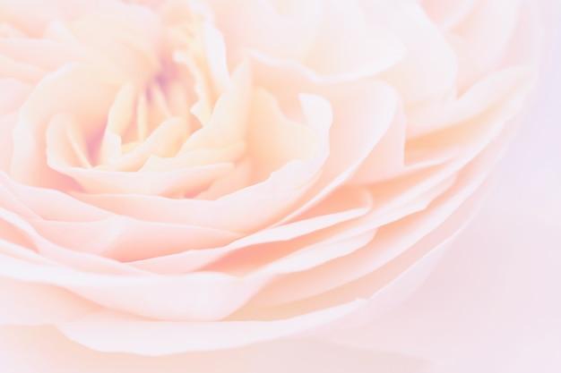 美しいバラの花は抽象的な背景をクローズアップ
