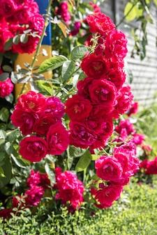 Красивый цветок розы в саду.