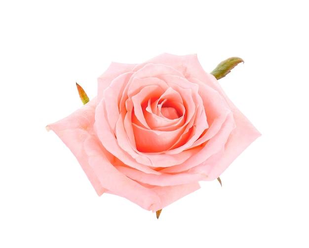 Красивый цветок розы на белом