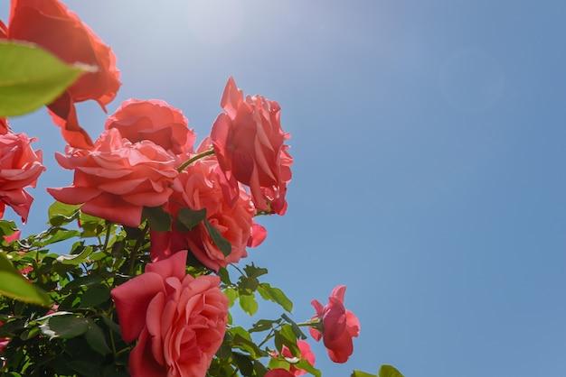 庭の美しいバラの花