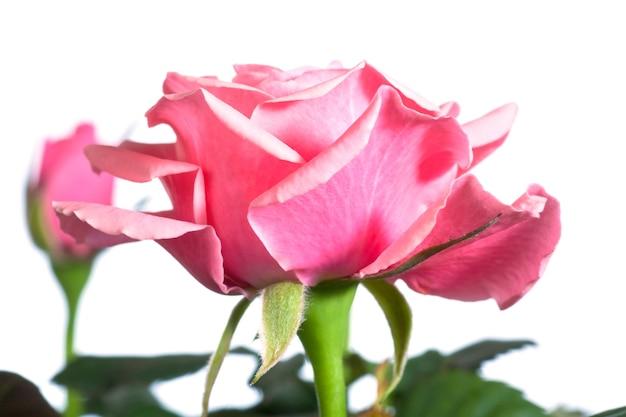 白い背景で隔離の美しいバラの花