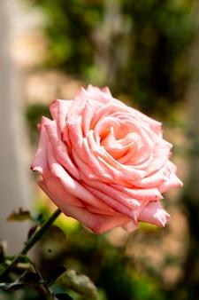 美しいバラの花