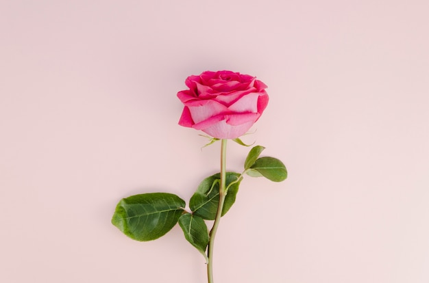 Beautiful rose on light pink background