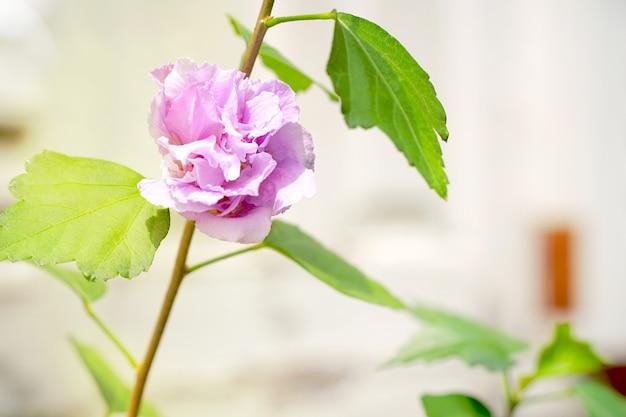 Красивая роза шарона, гибискус сирийский, дважды цветущий в саду в солнечный день.