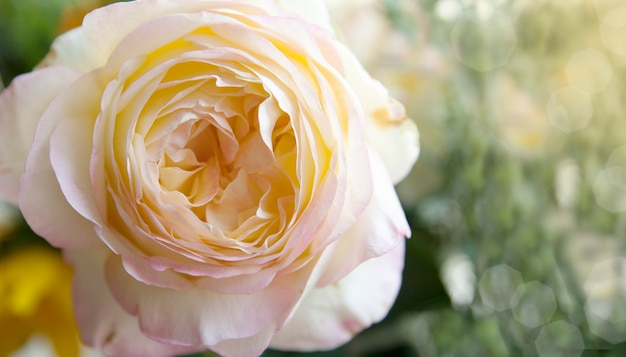 Beautiful rose with an interesting center in the sun on a blurred natural surface