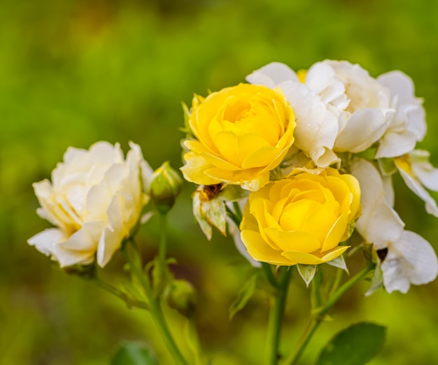 A beautiful roses after rain