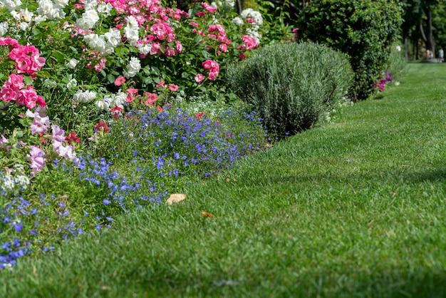 여름 정원에 있는 아름다운 장미 덤불. 짙은 녹색 단풍에 신선한 빨간 장미가 있는 변덕스러운 꽃 배경.