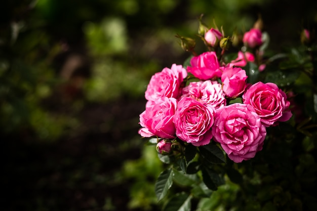 Beautiful roses in the garden. pink roses bush over summer garden or park