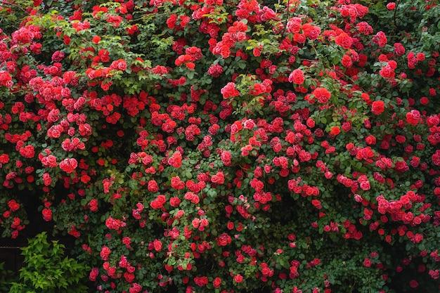 아름다운 장미 정원