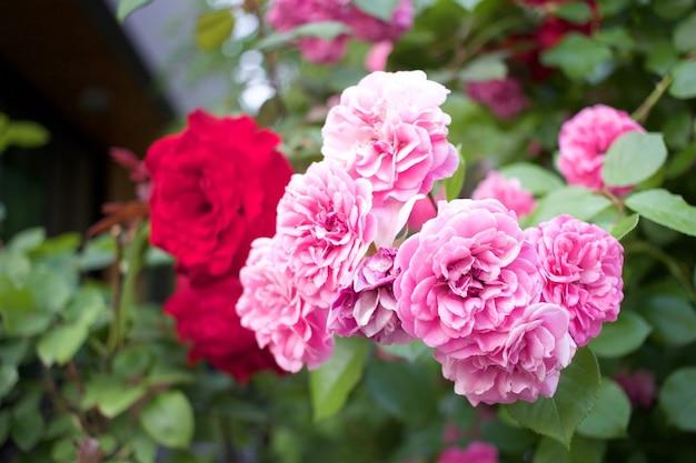 Красивые розы в саду, розы на день святого валентина