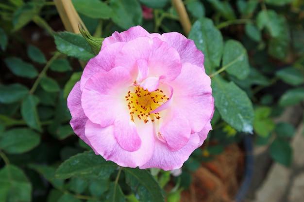 Красивые розы в саду