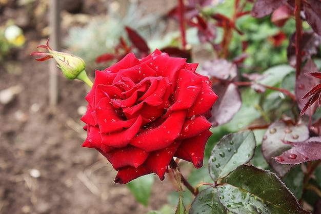 정원에서 아름다운 장미