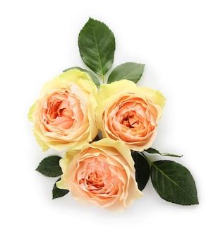 白地に美しいバラ